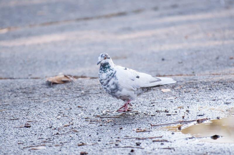 Grey pigeon. Beautiful pigeon close up. City birds royalty free stock images