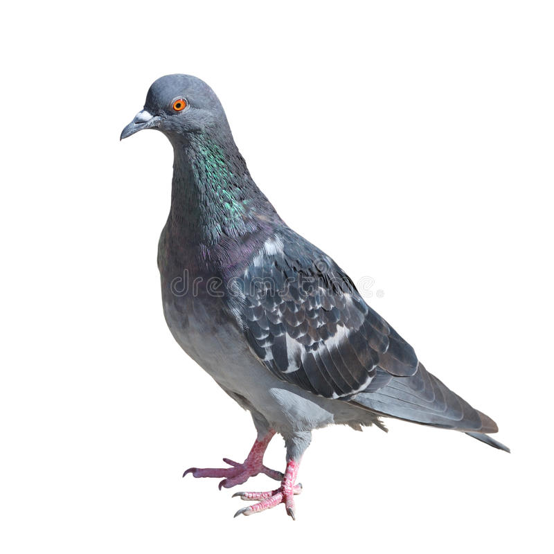 Grey pigeon isolated on white. One grey pigeon isolated on white background stock photo