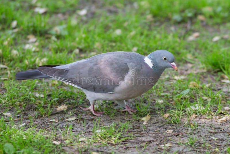 Grey Pigeon op Gras royalty-vrije stock fotografie