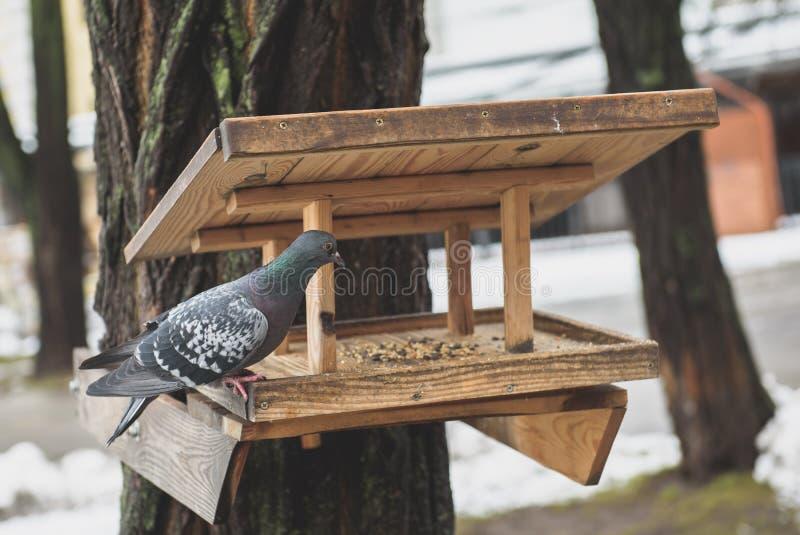 Grey Pigeon på det matande huset för träfågel royaltyfri fotografi