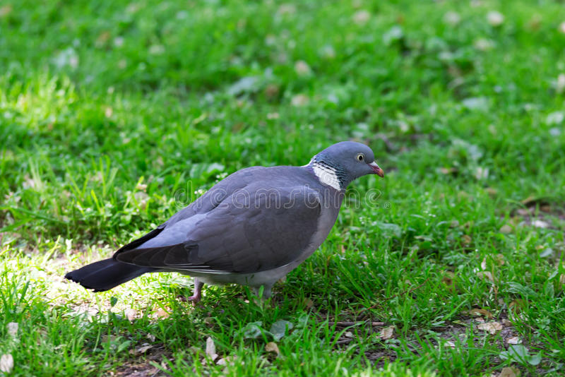 Grey Pigeon Standing op Groen Gras royalty-vrije stock afbeelding