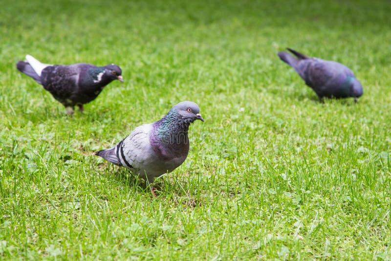Grey Pigeon Standing su erba verde con altri piccioni intorno fotografia stock libera da diritti
