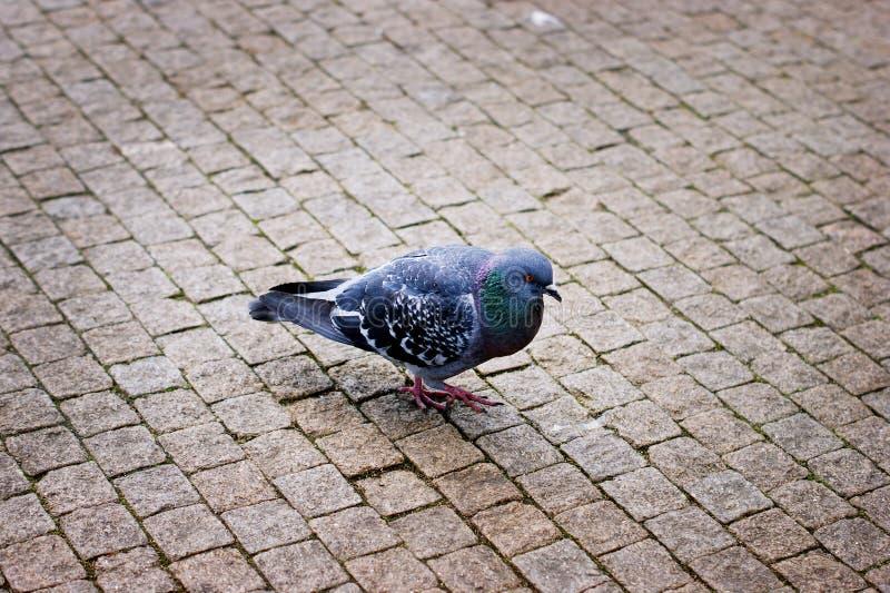 Grey Pigeon Walking auf der Pflasterung stockbild