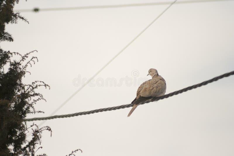 Grey Pigeons che sta sui cavi sopra cielo blu fotografia stock