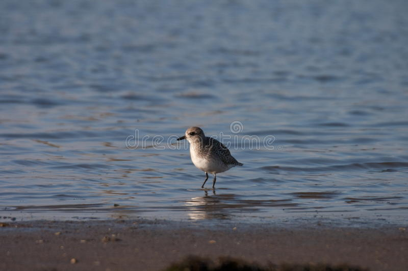 Grey Plover photographie stock