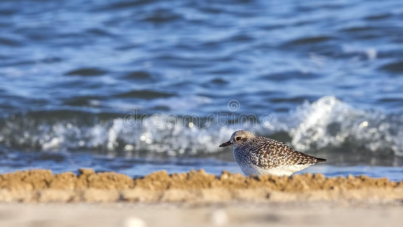 Grey Plover images stock