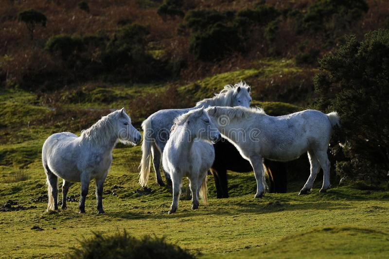 Grey ponies semi wild living on Dartmoor. Dartmoor hill ponies enjoy the freedom to roam the moor, this herd tend to stay together travelling around the vast royalty free stock photography