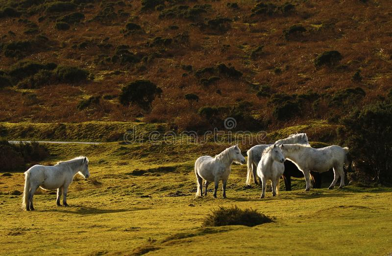 Grey ponies semi wild living on Dartmoor. Dartmoor hill ponies enjoy the freedom to roam the moor, this herd tend to stay together travelling around the vast royalty free stock image