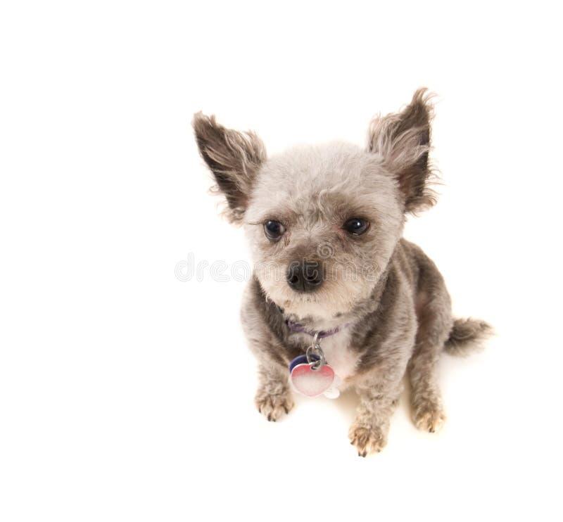 Grey poodle stock image