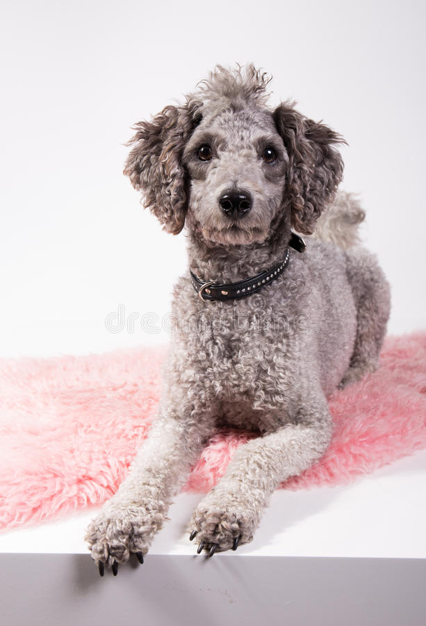 Grey poodle. With funny haircut laying on a pink rug waiting royalty free stock photos