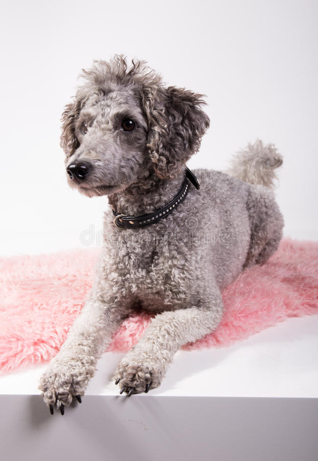 Grey poodle. With funny haircut laying on a pink rug waiting stock images