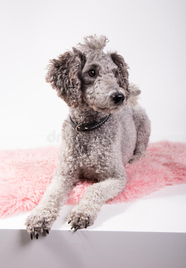 Grey poodle. Laying on a pink rug in front of white background stock photos