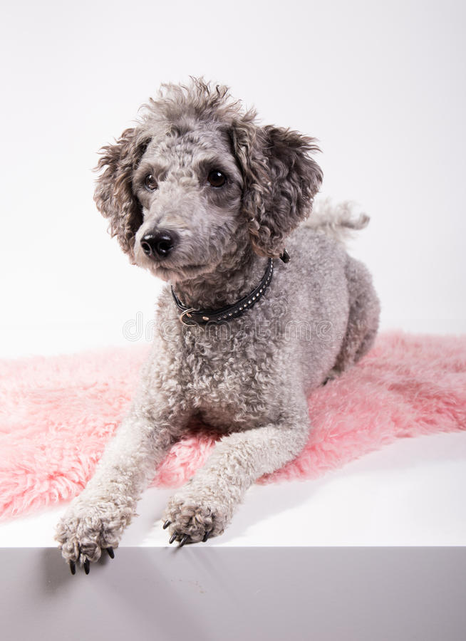 Grey poodle. Laying on a pink rug in front of white background royalty free stock photo