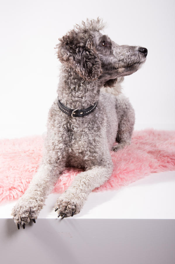 Grey poodle. Laying on a pink rug looking for something royalty free stock images