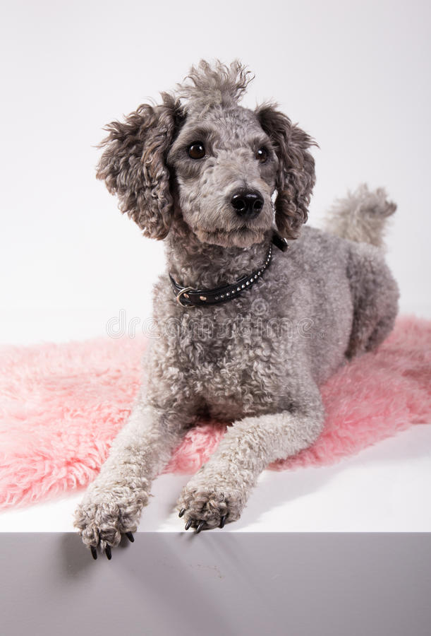 Grey poodle. Laying on a pink rug waiting stock photo