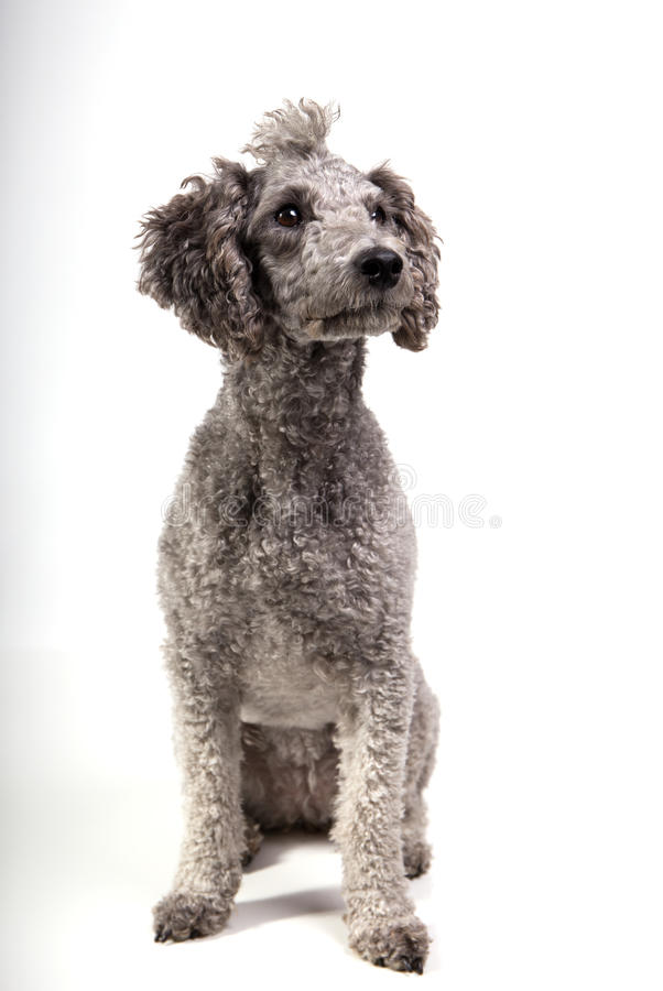Grey poodle. Sitting against white background stock photos