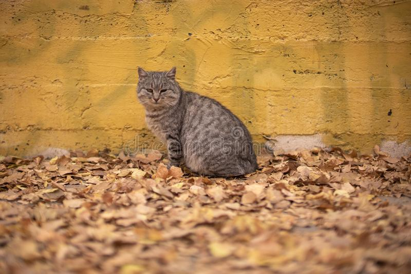 Grey poor stray cat sitting near yellow wall on autumn leaves in park in Odessa royalty free stock photos