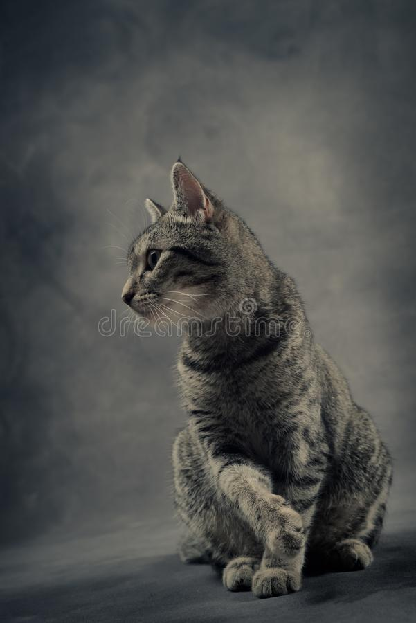 Grey Portrait van Tabby Cat stock fotografie