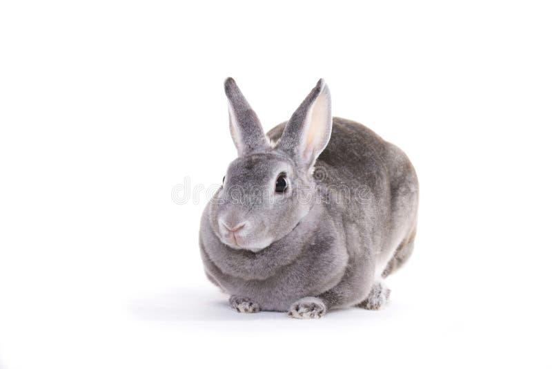 Grey rabbit. Sitting, netherland dwarf stock image