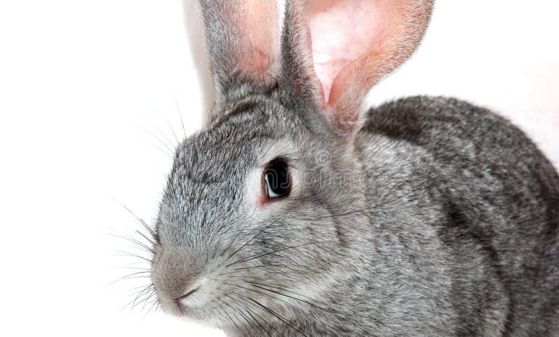 Grey rabbit. Isolated on white stock photos
