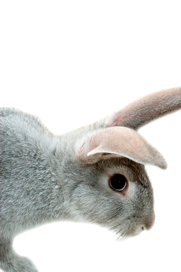 Download Grey rabbit stock photo. Image of baby, bugs, fluffy, cute - 1214780