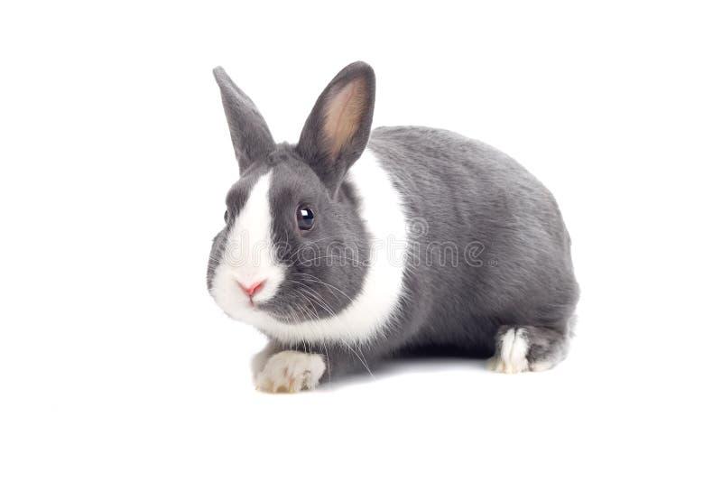 Download Grey rabbit stock photo. Image of light, black, animals - 12575156