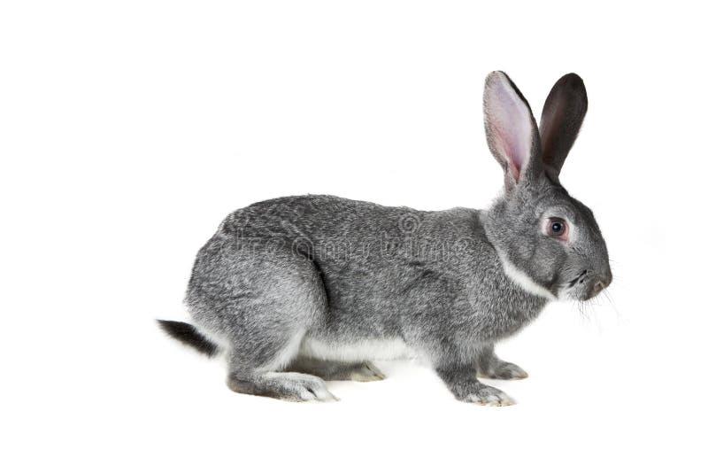 Grey rabbit. Image of cute grey rabbit isolated over white background stock photo