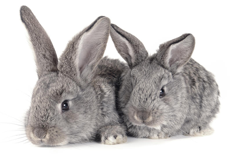 Grey rabbit. On a white background stock images
