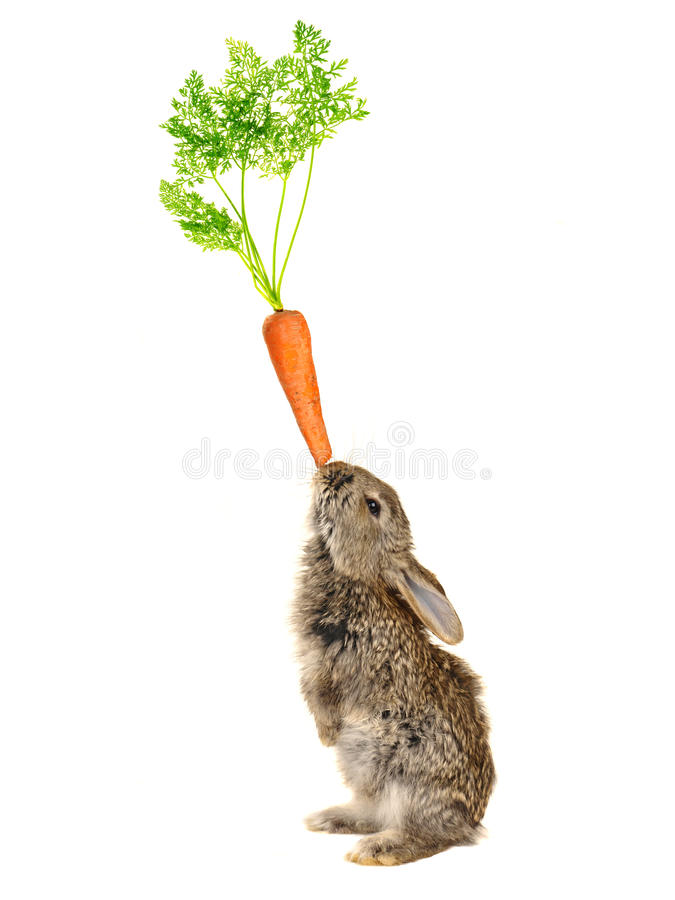 Grey rabbit. On a white background stock photography