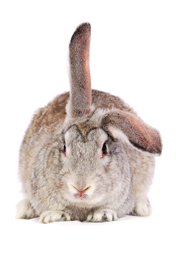 Grey rabbit. With lifted ear isolated on white royalty free stock photos
