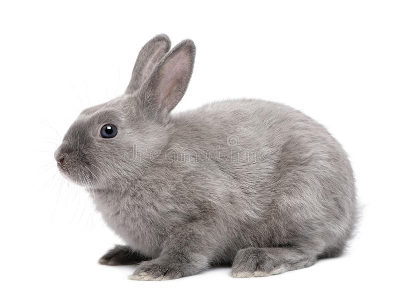 Download Grey Rabbit stock image. Image of furry, background, horizontal - 16407955