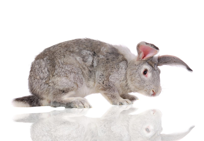 Grey rabbit. With reflection isolated on white royalty free stock photos