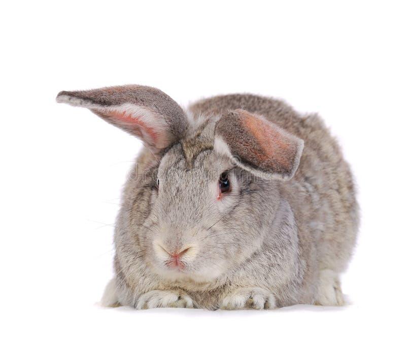 Grey rabbit. Isolated on white royalty free stock photo