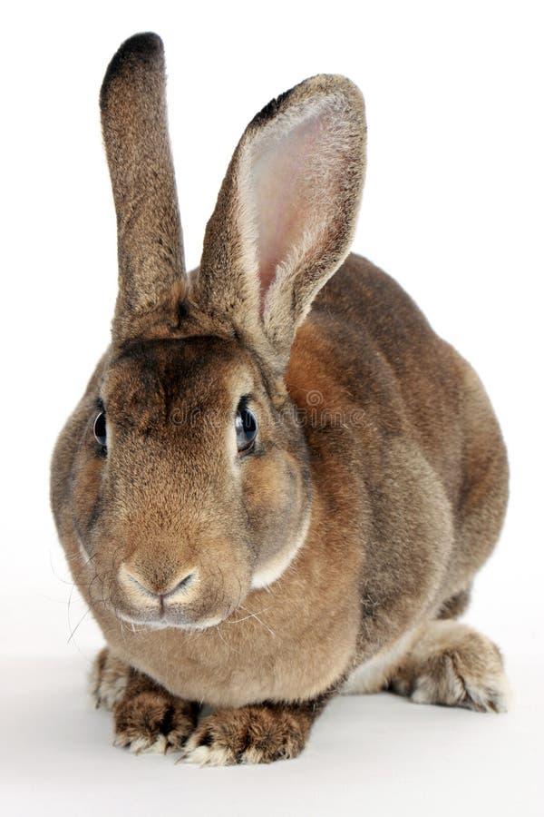 Grey Rabbit. Isolated on white background royalty free stock photography