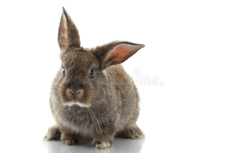 Grey Rabbit. Isolated on white background stock image
