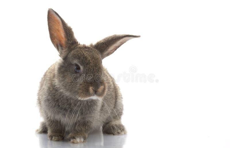 Grey Rabbit. Isolated on white background royalty free stock image