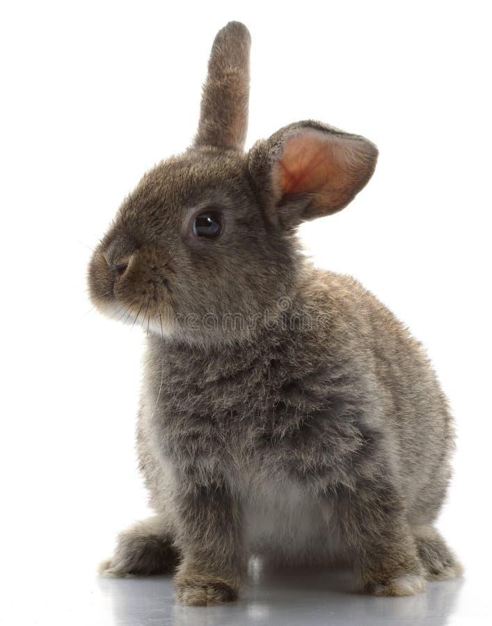 Grey Rabbit. Isolated on white background stock photo