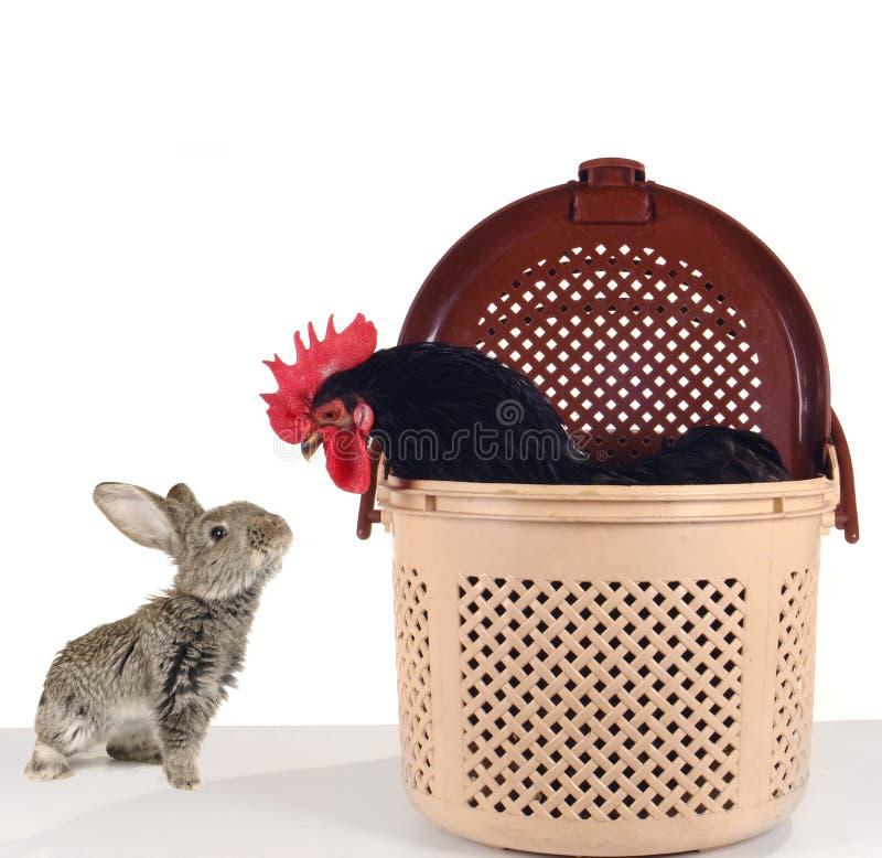Grey rabbit and black stock image