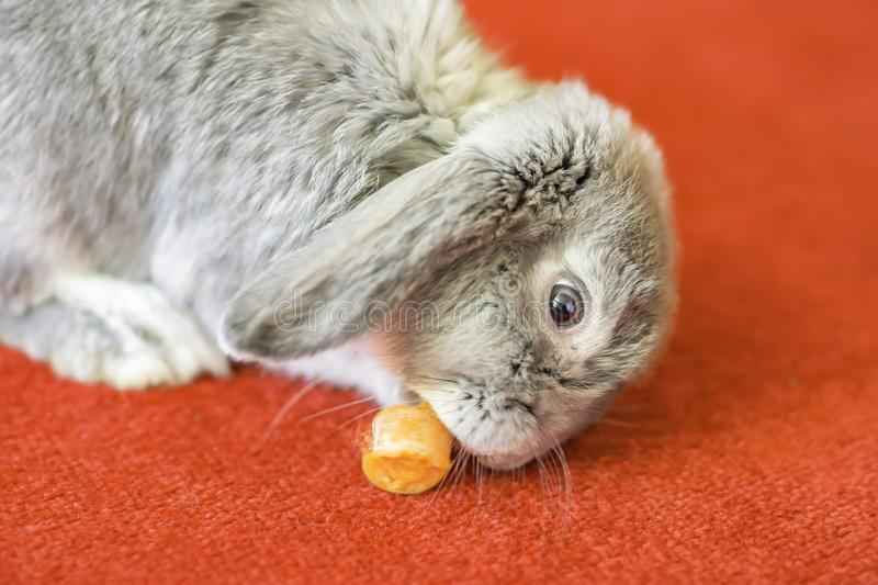 Rabbit on red carpet eating a carrot.Pet portrait. Grey rabbit eating carrot on red carpet.Cute and fluffy animal at home.Pets uk.Pet portrait.Lovely and stock photography
