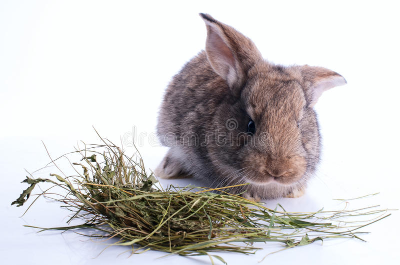 Grey rabbit is eating hay royalty free stock photo