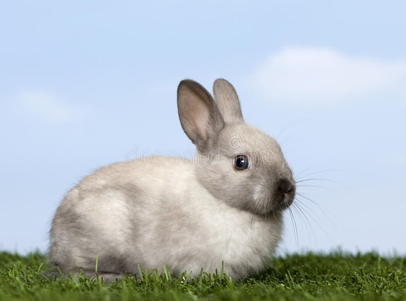 Grey Rabbit on grass. Against blue sky royalty free stock photo