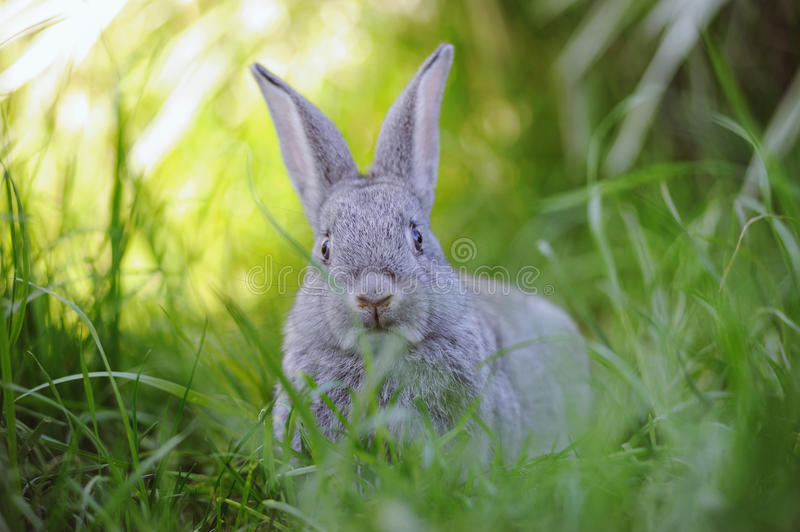 Grey rabbit in the grass. Grey baby rabbit in the grass stock photos