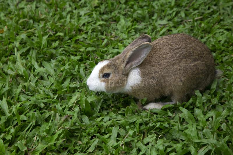 Grey rabbit on the grass. Rabbit is a cute animal  but they are eating nearly ever plants stock photo