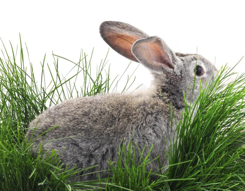 Grey rabbit on the grass. On a white background royalty free stock photography