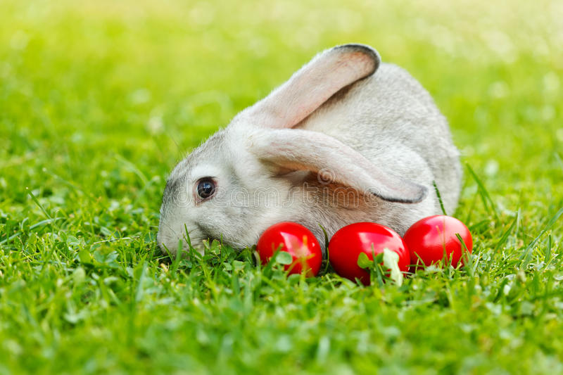 Grey rabbit in green grass with three red eggs royalty free stock photography