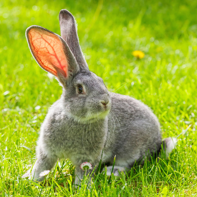 Grey rabbit in green grass royalty free stock photos
