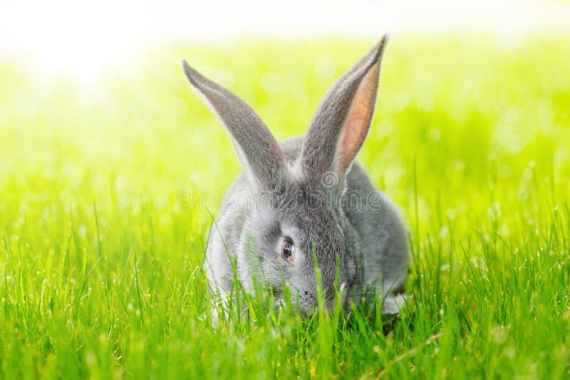 Grey rabbit in green grass royalty free stock image