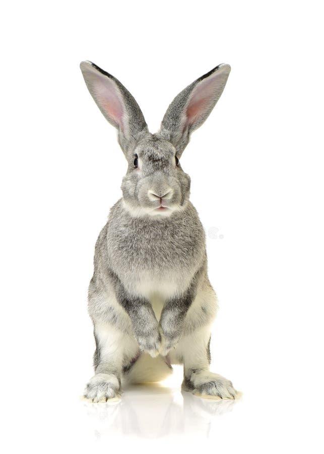 Grey rabbit. Isolated on white background stock images