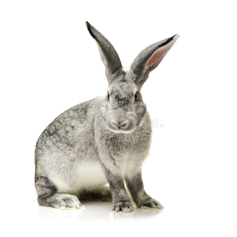 Grey rabbit. Isolated on white background stock photos