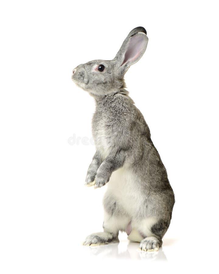 Grey rabbit. Isolated on white background royalty free stock photo